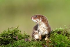 Weasel on moss Royalty Free Stock Photo