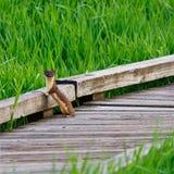 Weasel munito lungo diritto Fotografie Stock
