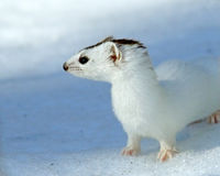 Weasel ( Mustela nivalis nivalis ) Royalty Free Stock Photos