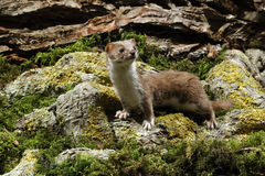 Weasel, Mustela nivalis Royalty Free Stock Photography