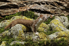 Weasel, Mustela nivalis Stock Photos
