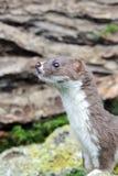 Weasel, Mustela nivalis Stock Images
