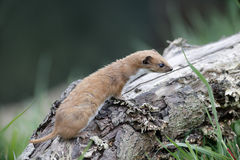 Weasel, Mustela nivalis, Stock Photos