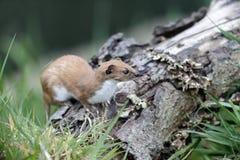 Weasel, Mustela nivalis, Stock Image