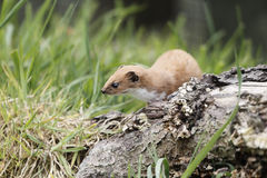 Weasel, Mustela nivalis, Royalty Free Stock Photography