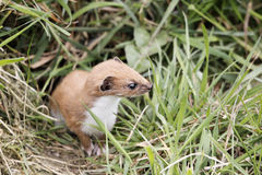 Weasel, Mustela nivalis, Royalty Free Stock Photos