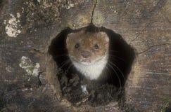 Weasel, Mustela nivalis Stock Photography
