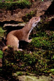 Weasel, Mustela nivalis Stock Photo