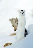 Weasel (nivalis di nivalis del Mustela) Fotografia Stock