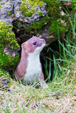 Weasel peering out of his hole Stock Images