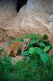 Weasel sitting near the cave Royalty Free Stock Images