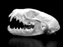 Weasel skull Royalty Free Stock Image