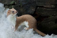 Weasel in the snow stock photo