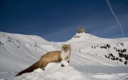 Weasel in winter mountain snow Royalty Free Stock Images