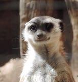 weasels Стоковое фото RF