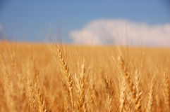 The weat. Wheat before harvest Stock Images