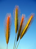 Weat. Wheat against a bleu sky stock photo