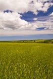 Weat fält, Apulia, Italien, Arkivfoton