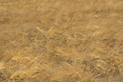 Weat field background. With soothing patterns Stock Image
