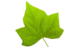 Weat leaf Royalty Free Stock Photo