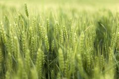 Weath cereal field in the summer royalty free stock photo
