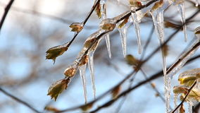 Weather anomalies, frosts. Tree branch in a spring park with small leaves and kidneys, covered with ice. Big icicles on a tree. stock video