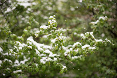 Weather anomalies. Snow in may. Stock Photos