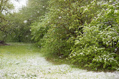 Weather anomalies. Snow in may. Royalty Free Stock Photo