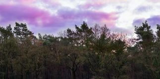 Weather phenomenon in the sky, pink and purple nacreous clouds, forest landscape background royalty free stock photos