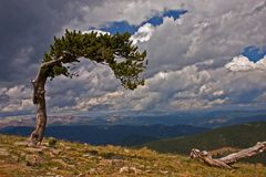 Weathered. A twisted bristlecone pine tree near the top of Mt Evans Colorado Stock Images