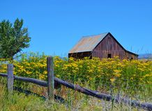 WEATHERED BROWN BARN WITH YELLOW WILDFLOWERS IN FOREGROUND Stock Photo