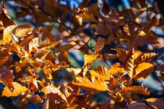 Weathered brown foliage on the branches. In sunlight. lovely autumn background royalty free stock photo