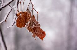 Weathered brown foliage on a frozen branch. Beautiful nature background in winter Stock Photography