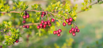 Weathered Hawthorn fruits Stock Images