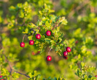 Weathered Hawthorn fruits Royalty Free Stock Images