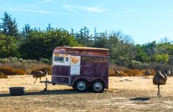 Weathered horse trailer in a field with ostriches. Weathered horse trailer in a barren field with early morning sunlight surrounded by ostriches Stock Photos