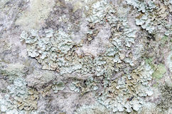 Weathered lichen stone surface seamless background Stock Image
