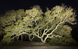 A weathered Live Oak Tree Painted in Light Stock Photography