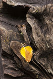 Weathered log and leaf. Royalty Free Stock Photo