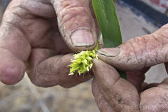 Weathered Mans Farm Hands Holding Barely Plant Stock Image