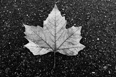 Weathered maple leave on an asphalt road - 1.  stock photos