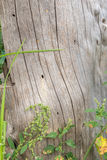 Weathered old dead tree stump close up with weeds growing. Next to it Royalty Free Stock Images