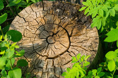 Weathered old tree stump. Framed with green leaves Stock Images