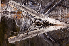 Weathered old trees mirrored on calm water surface Royalty Free Stock Photography