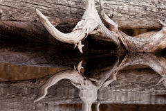 Weathered old trees mirrored on calm water surface Royalty Free Stock Image
