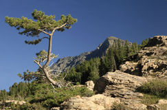 A Weathered Pine Tree and Mountains in Glacier NP Royalty Free Stock Photos