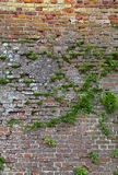 Weathered Red Brick Wall with Plants Growing on it Royalty Free Stock Images