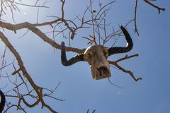 Weathered skull of cow on bare branches. Bull skull hanging on rope. Death and sacrifice concept. Head of dead cow. Weathered skull of cow on bare branches stock image