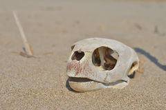 Weathered skull Stock Images