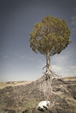 Weathered Tree in desert Stock Image